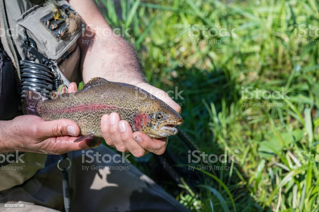 Beautiful rainbow trout in the hands of a fisherman. Trout fishing on the Otace River. Fly on Otava, South Bohemia. stock photo