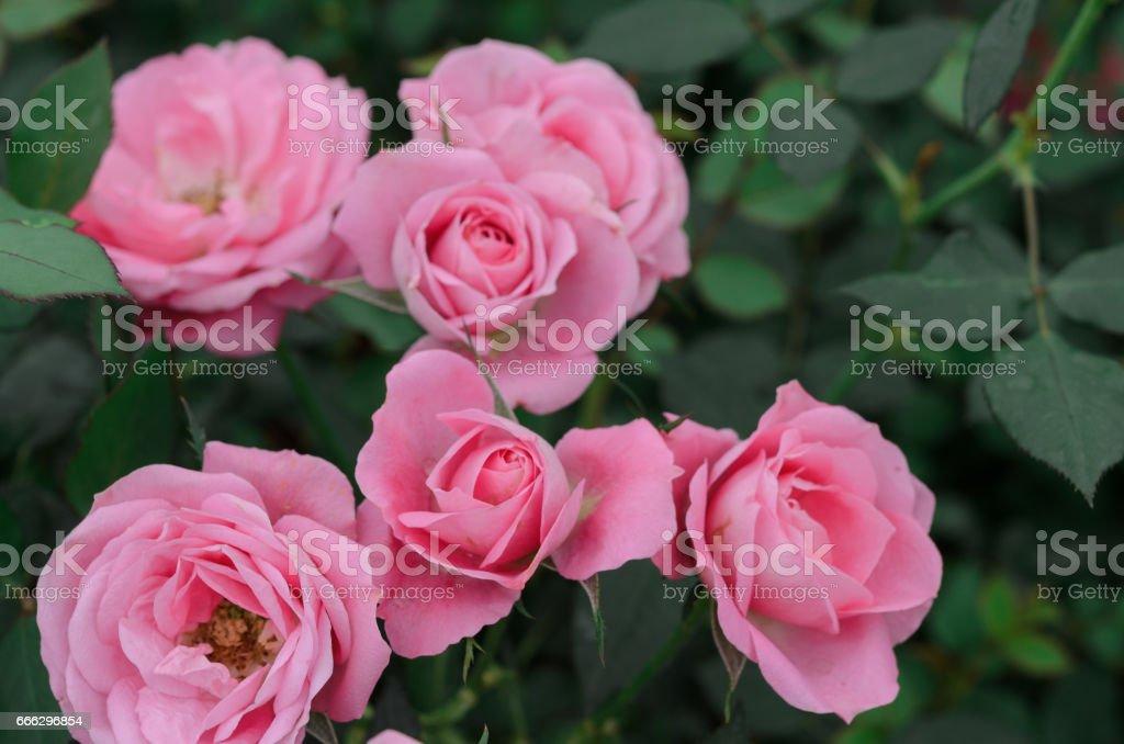 beautiful rambling Rose (Rosa) stock photo