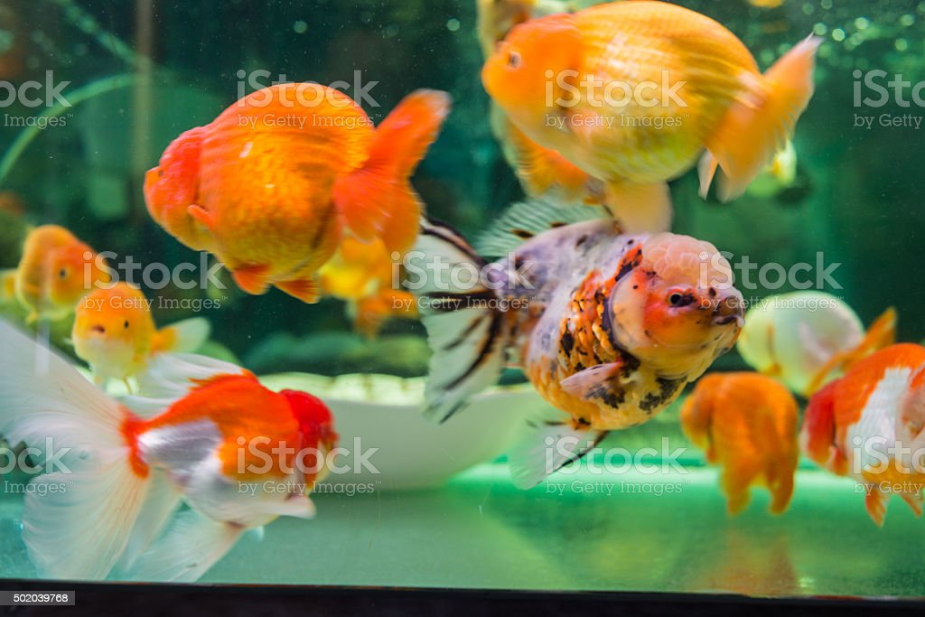 Beautiful Ranchu and Oranda goldfishes in the tank stock photo