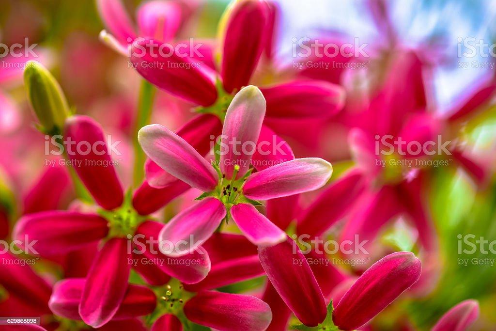 Beautiful  rangoon creeper Blooming in the nature stock photo