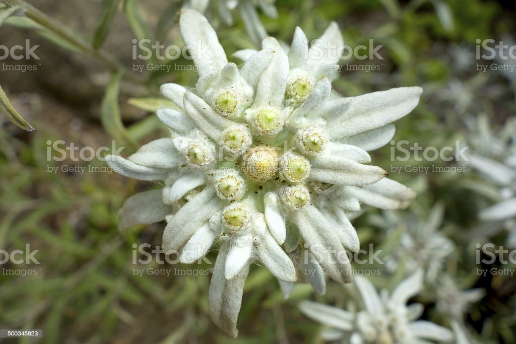 Beautiful rare alpine flower Edelweiss royalty-free stock photo