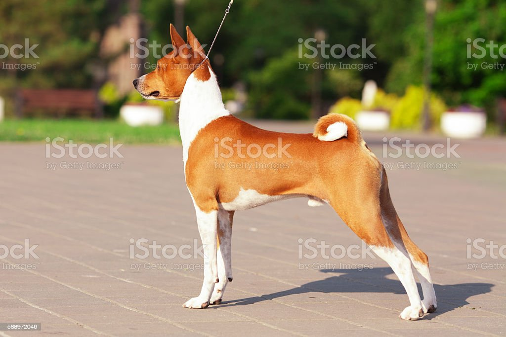 Beautiful red and white basenji dog outdoors on summer day stock photo