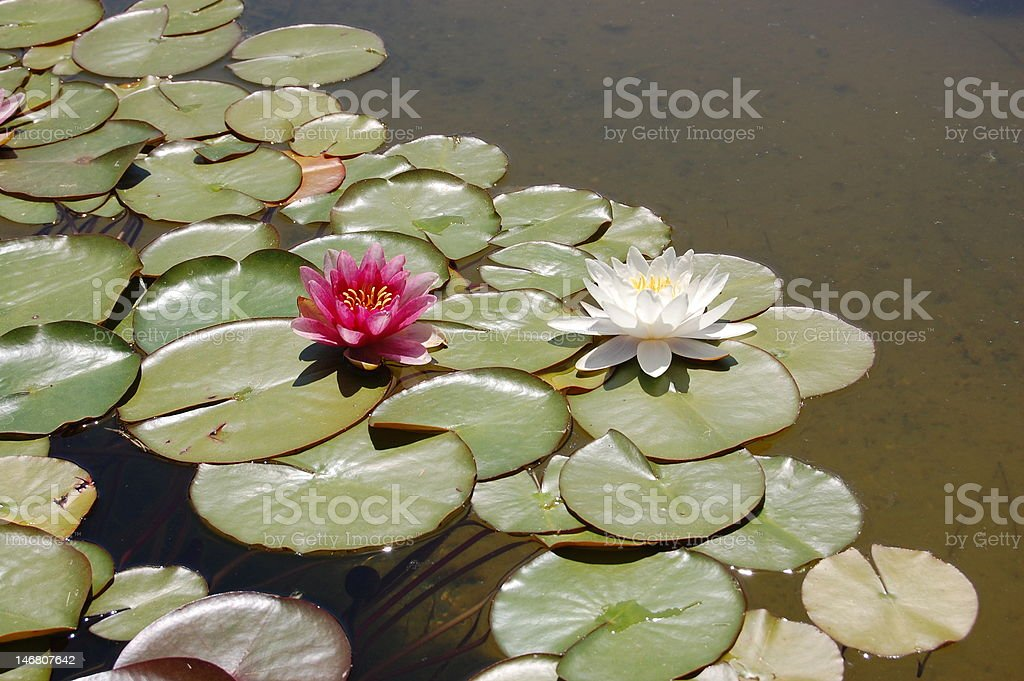 Beautiful red and white water lily flowers royalty-free stock photo