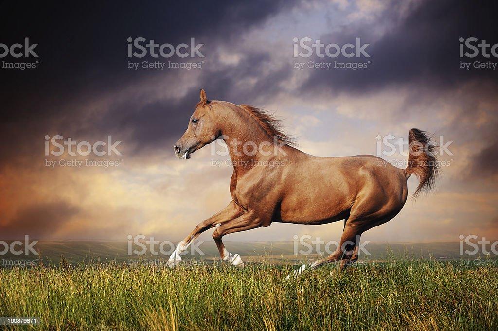 Beautiful red arabian horse running gallop stock photo