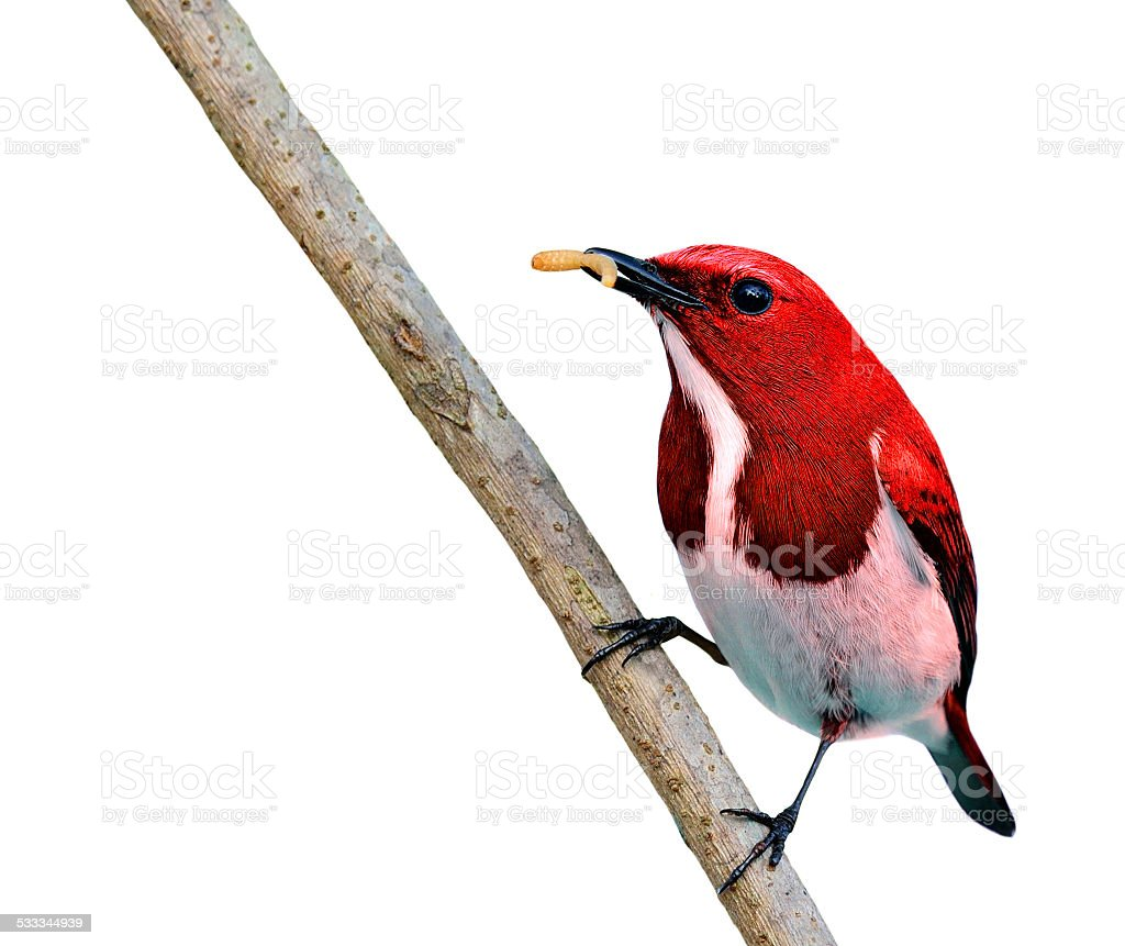 Beautiful Red bird, carrying worm food in his bills stock photo