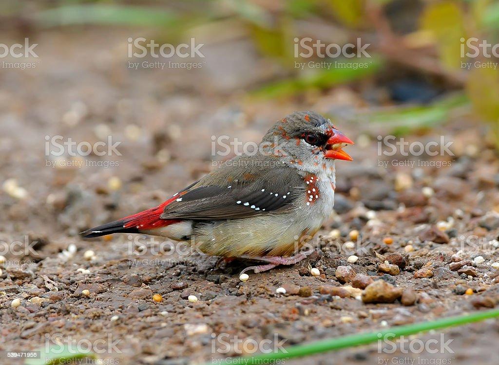 Beautiful red bird, mature male Red Avadavat (Amandava amandava) stock photo