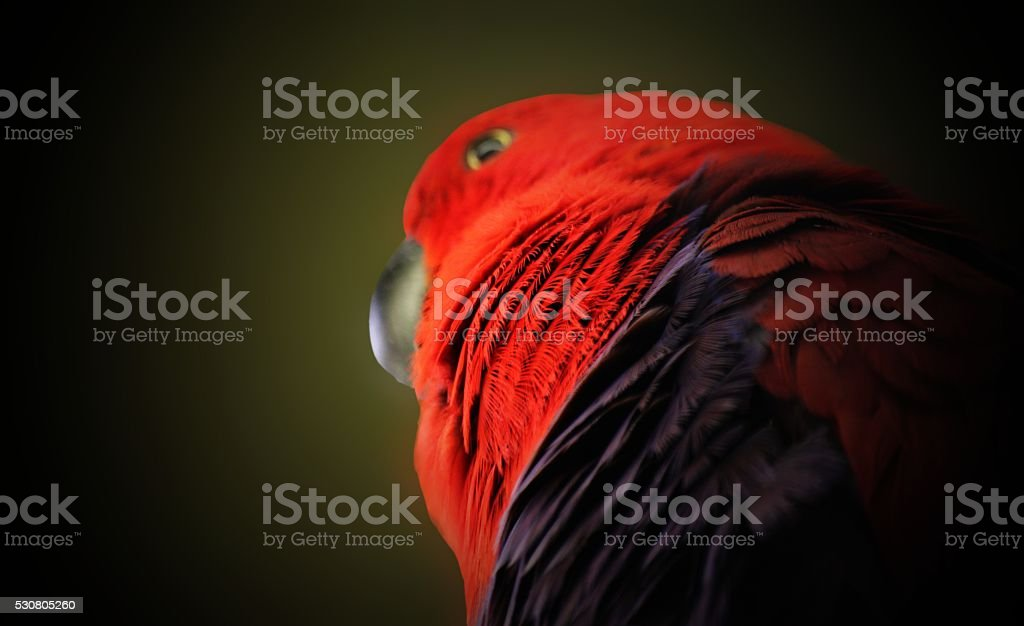 beautiful red blue black parrot macaw bird stock photo