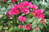 Beautiful red bougainvillea flowers
