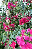 Beautiful red bougainvillea flowers surrounding pine tree