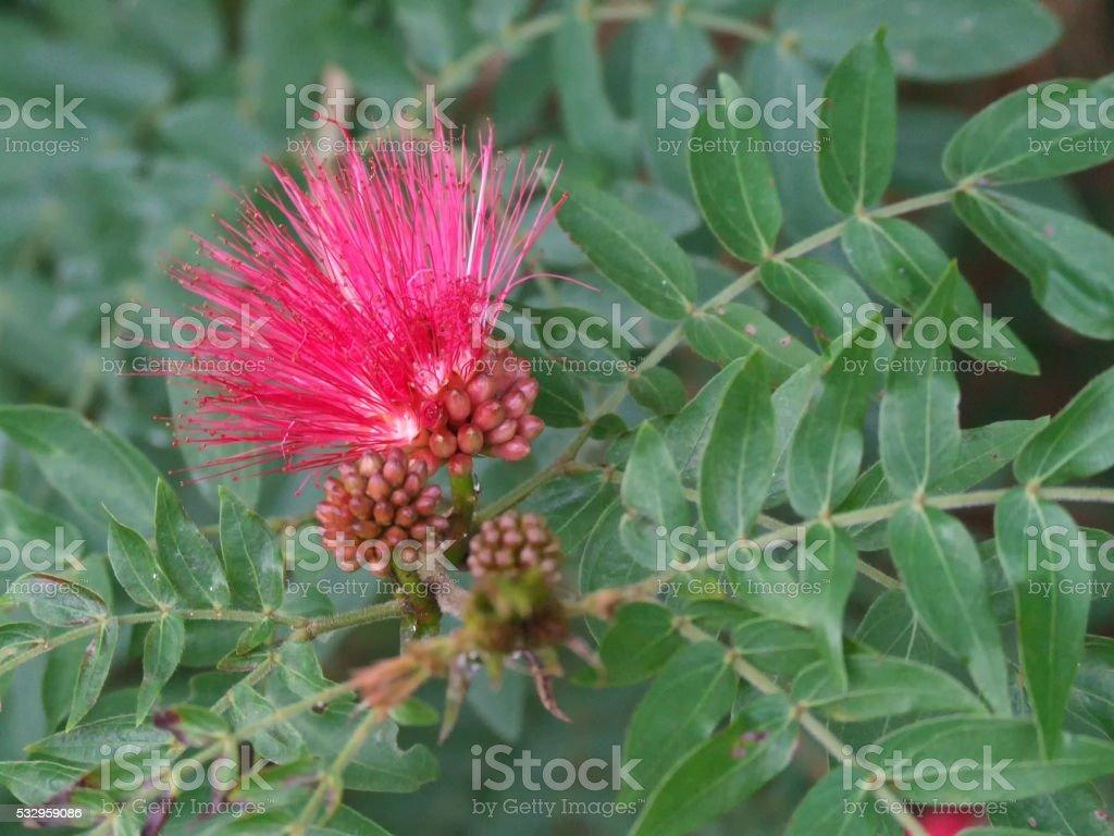 Beautiful red Calliandra growing near Brisbane stock photo