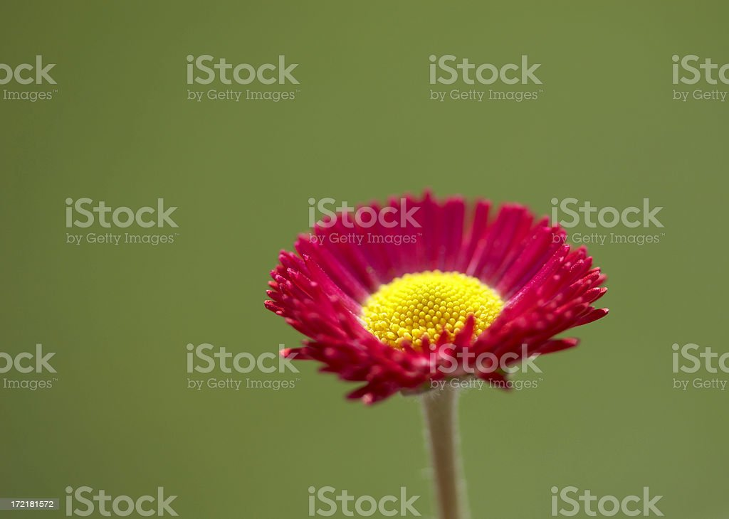 Beautiful red daisy stock photo