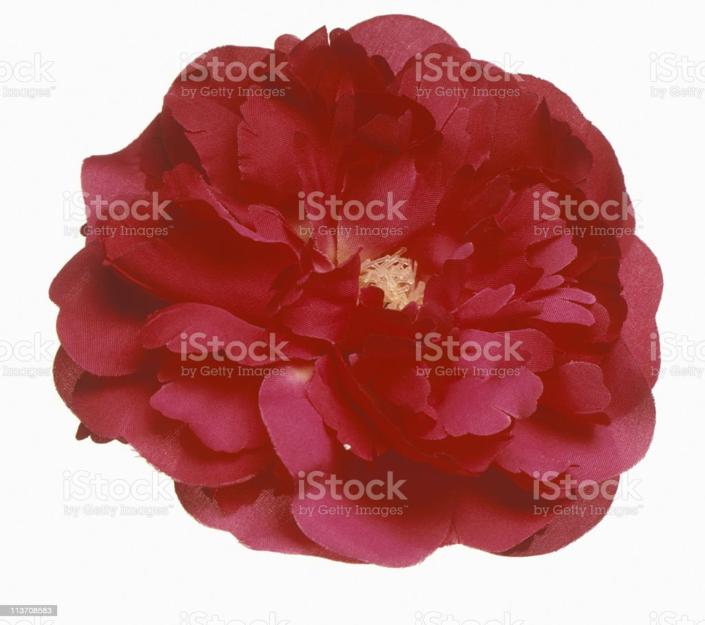 beautiful red Dianthus Carnatia cut out on white royalty-free stock photo
