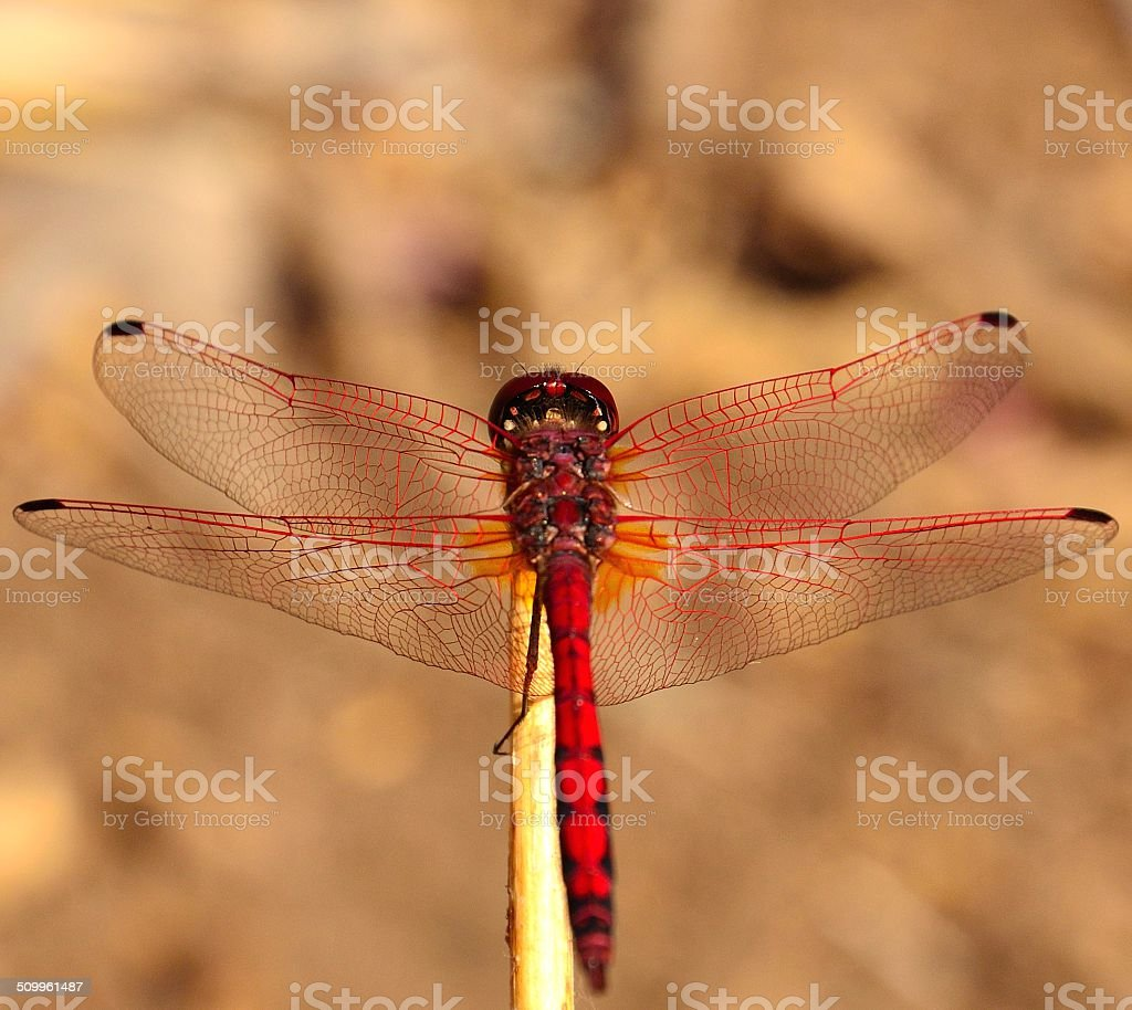Beautiful red dragonfly sympetrum sanguineum stock photo