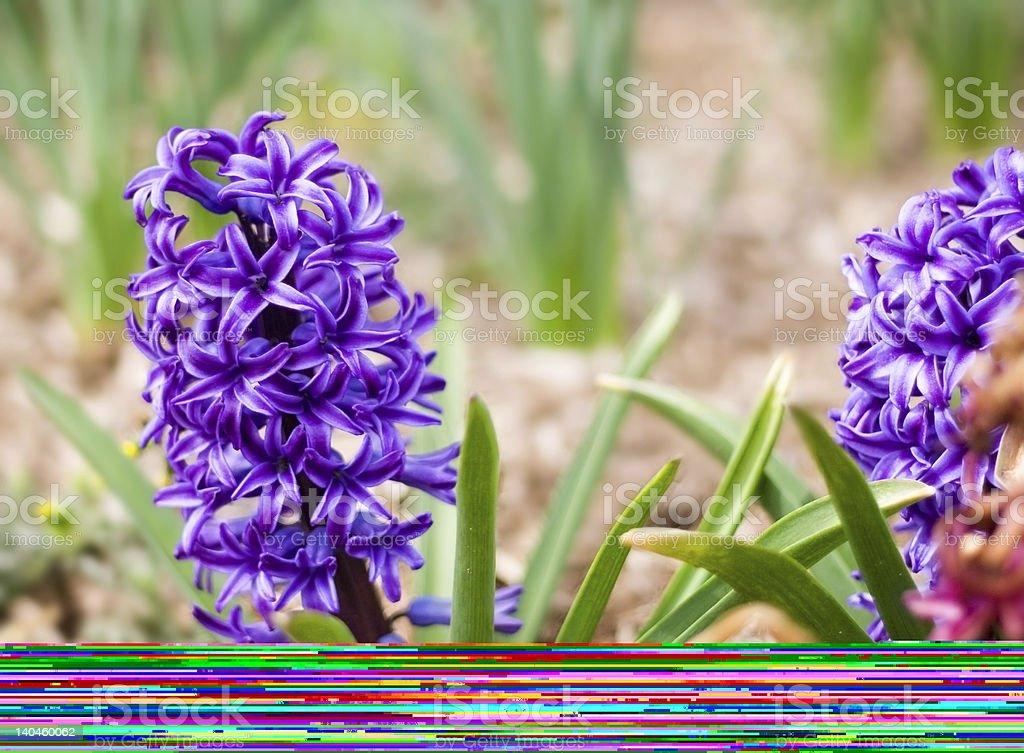 Bela vermelho ovos de Páscoa e flores foto de stock royalty-free