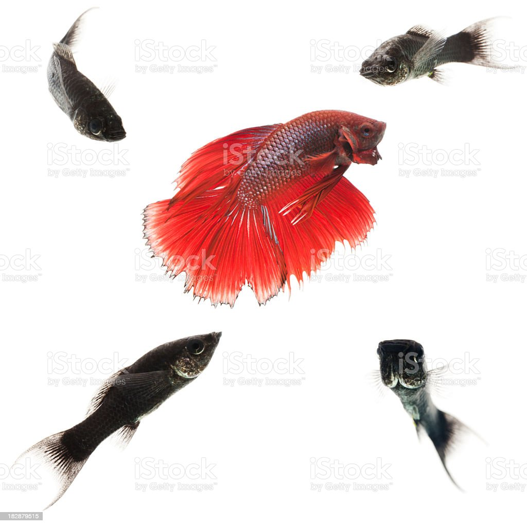 beautiful red fish surrounded by ugly ones royalty-free stock photo