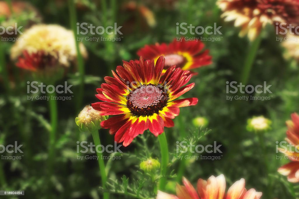 Beautiful Red Flowers Against Green Leafs Backgrond stock photo