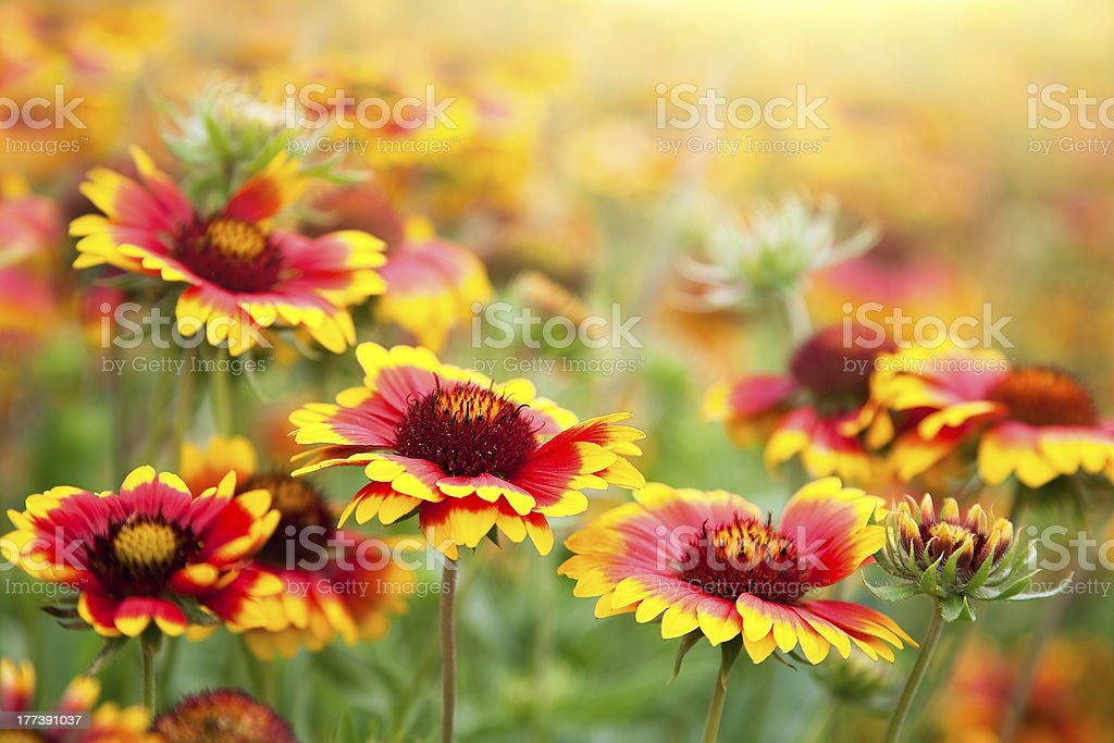Beautiful red flowers. Gaillardia pulchella (Blanket flower) stock photo