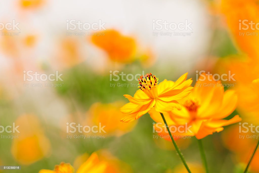 Beautiful red flowers of the cosmos stock photo