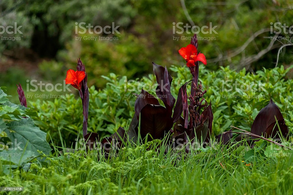 Beautiful red flowers on Cathedral Peak area stock photo