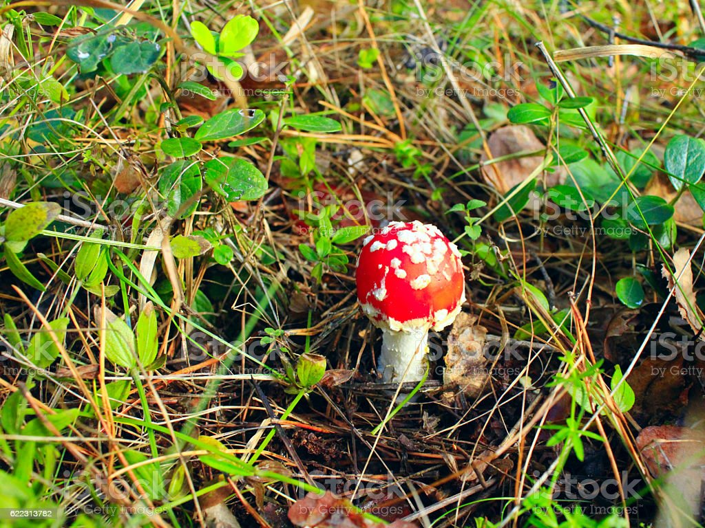 Beautiful red fly agaric in the forest stock photo