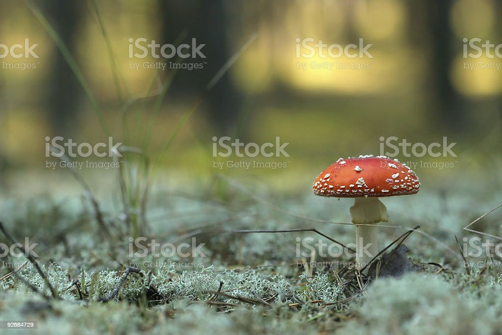 Beautiful red fly agaric on sunny background royalty-free stock photo