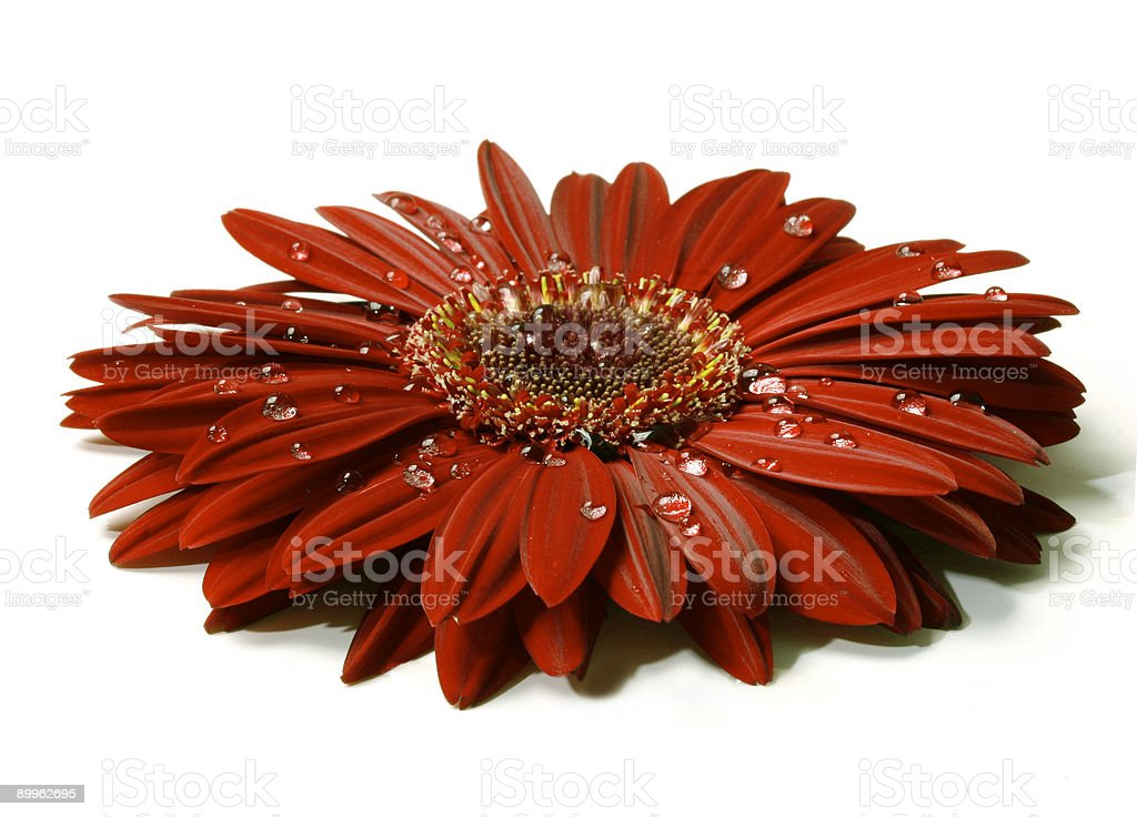 Beautiful red gerbera with raindrops royalty-free stock photo