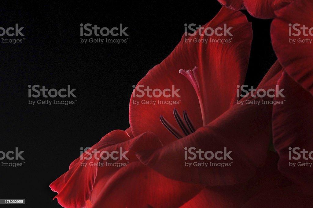 Beautiful Red Gladiolas (Gladiolus) royalty-free stock photo