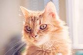 Beautiful red hair cat portrait