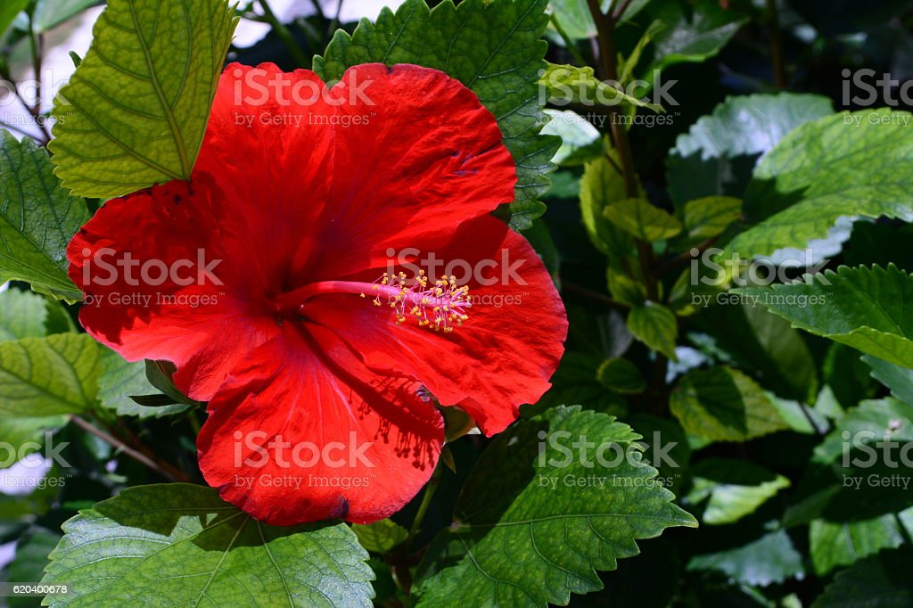 beautiful Red hibiscus stock photo