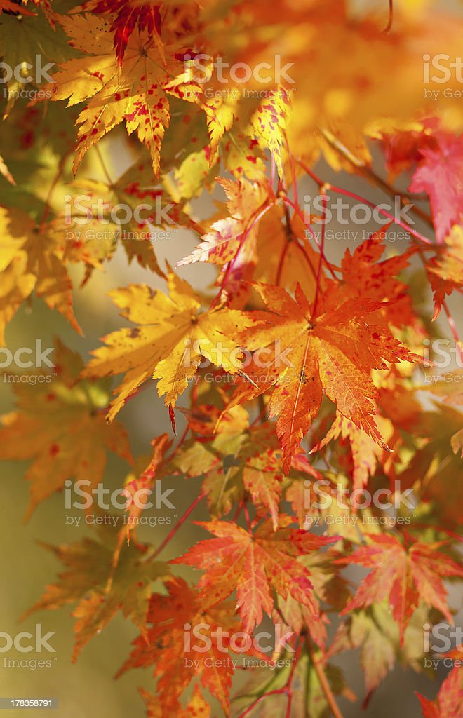Beautiful red japanese maple leaves at fall stock photo