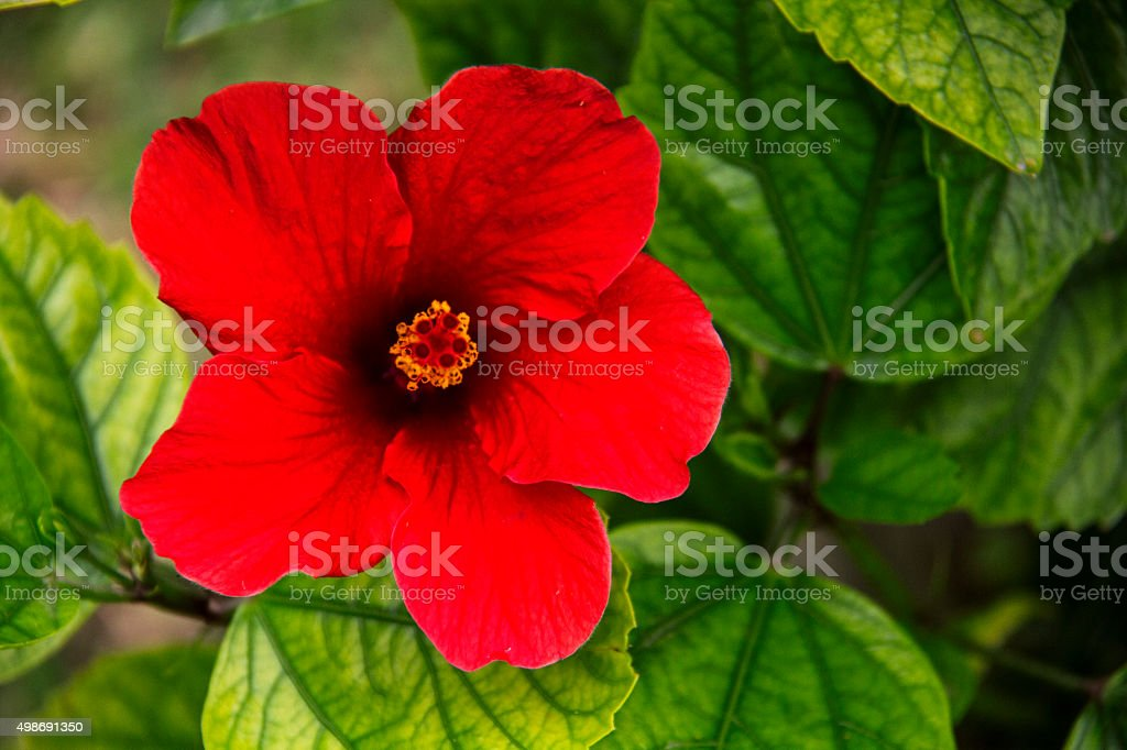 Beautiful red lily . stock photo