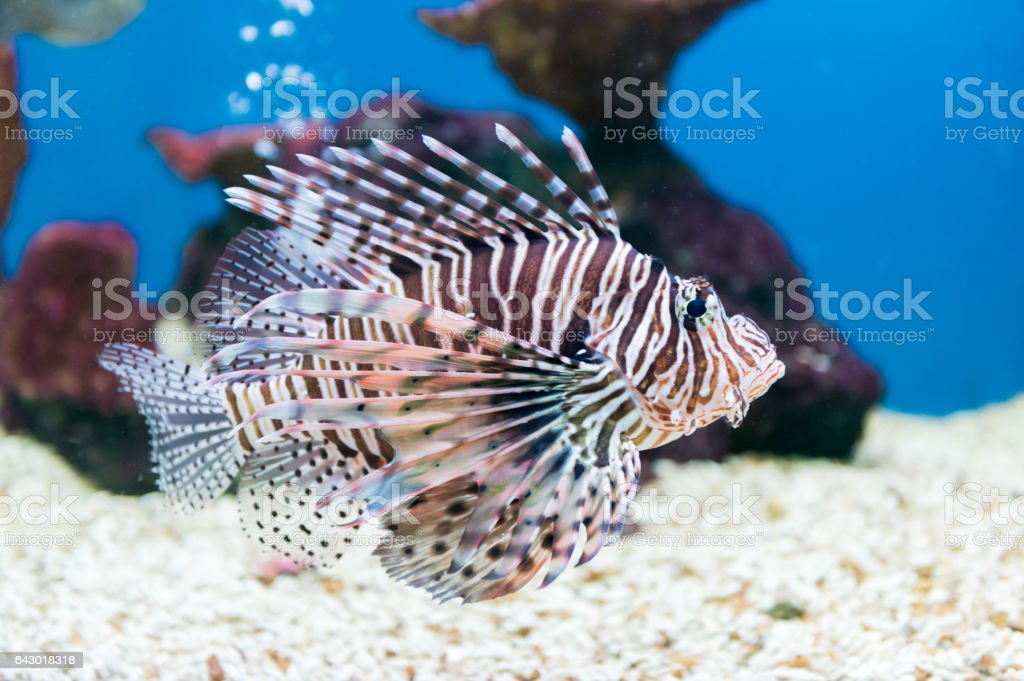 beautiful red lionfish (Pterois miles) portrait stock photo