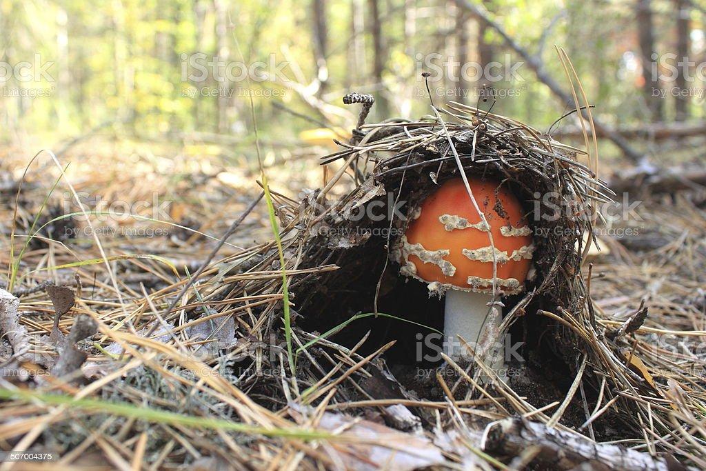 Beautiful red mushroom stock photo