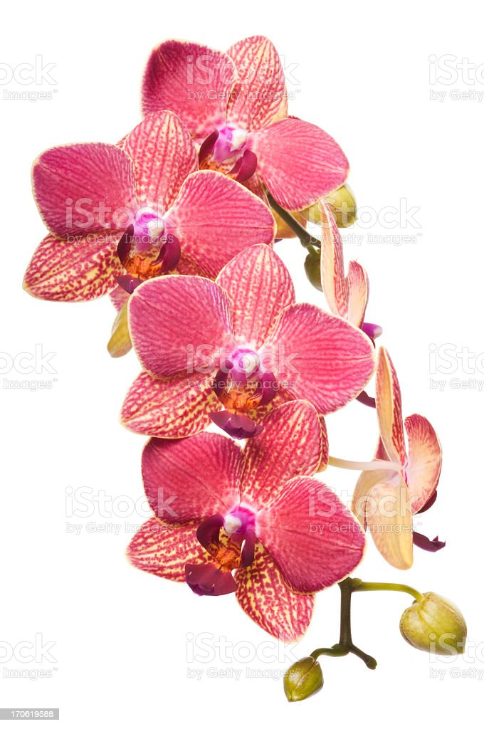 Beautiful red orchid flowers on white royalty-free stock photo