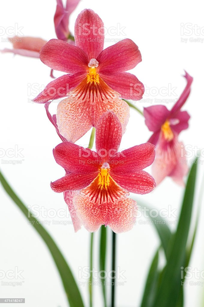Beautiful Red Orchid royalty-free stock photo