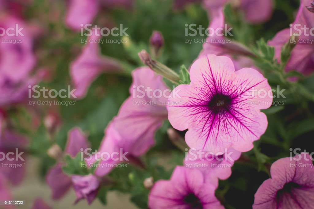Beautiful Red Petunias (Petunia hybrida) in garden soft focus stock photo