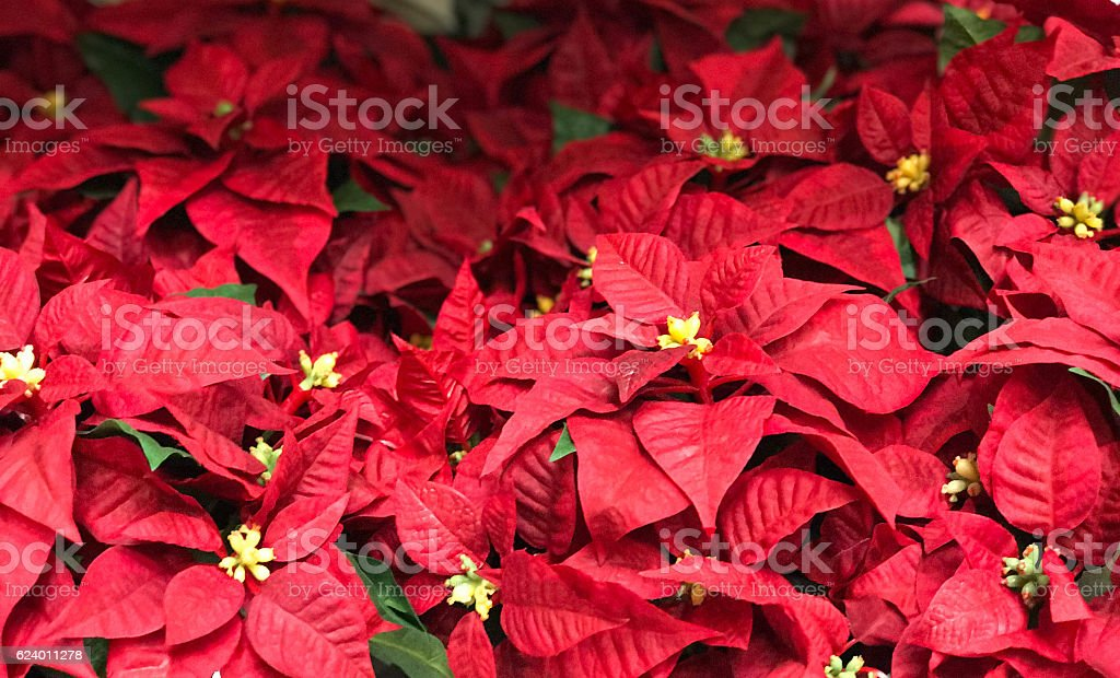 Beautiful red Poinsettia christmas flower stock photo