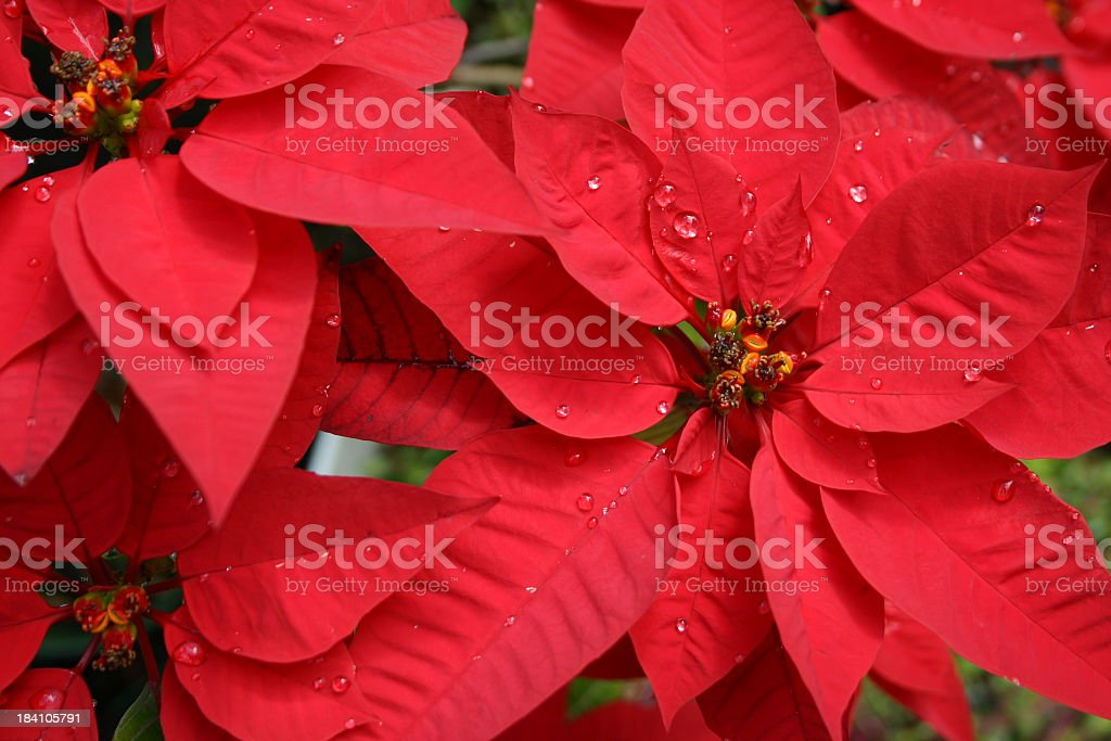 beautiful red poinsettia with raindrops top view royalty-free stock photo