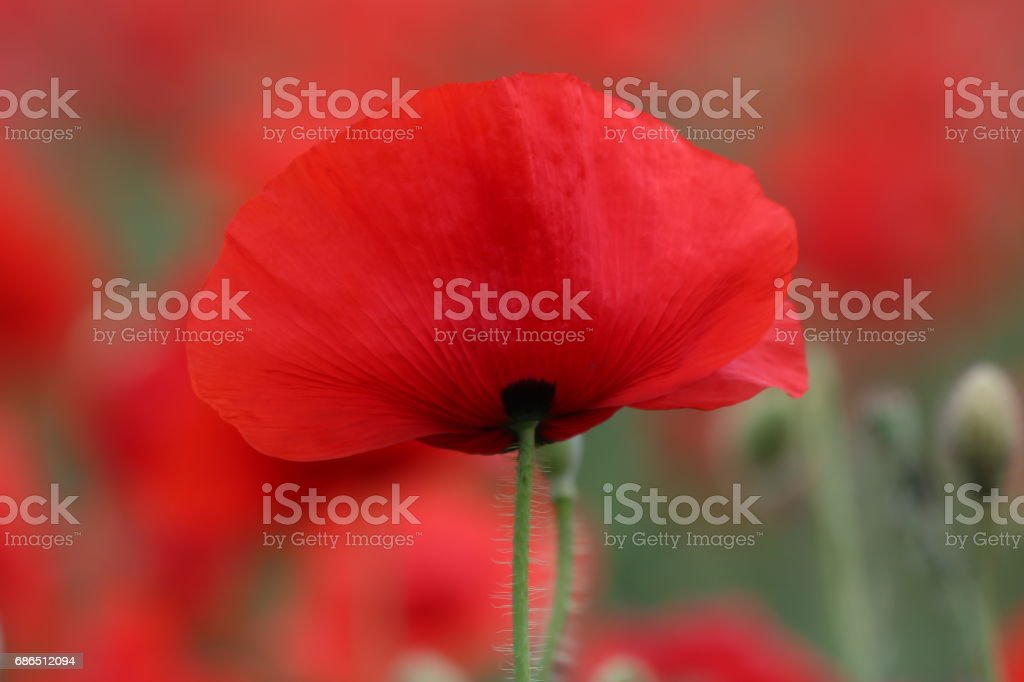 Beautiful red poppies at field stock photo