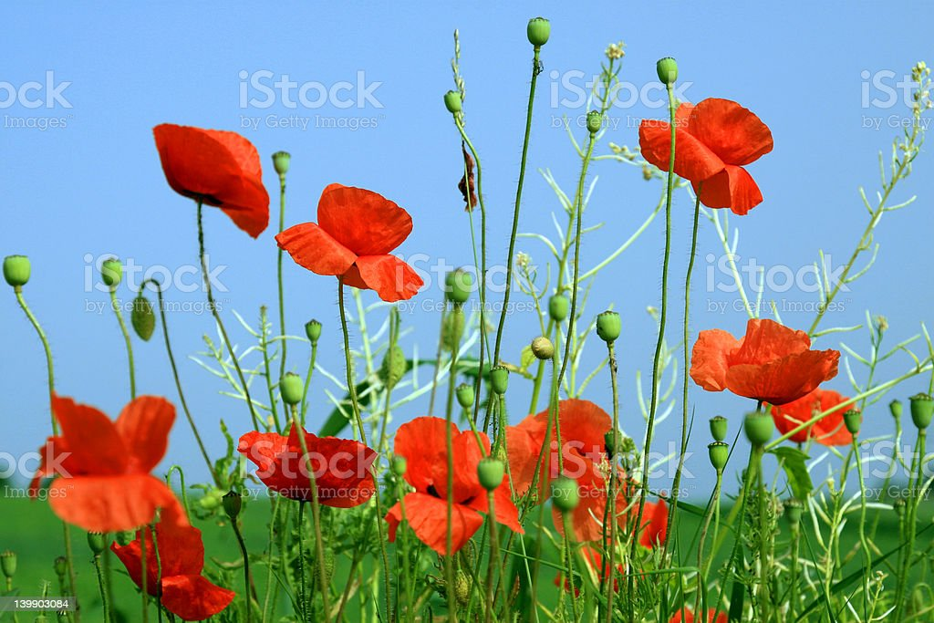 Beautiful Red Poppies, Blue Sky royalty-free stock photo