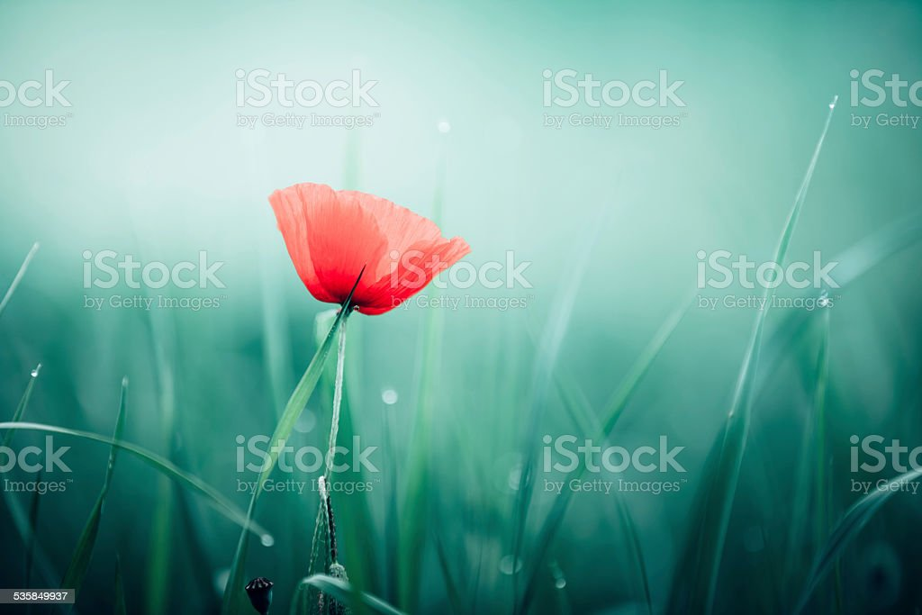 Beautiful Red Poppy stock photo