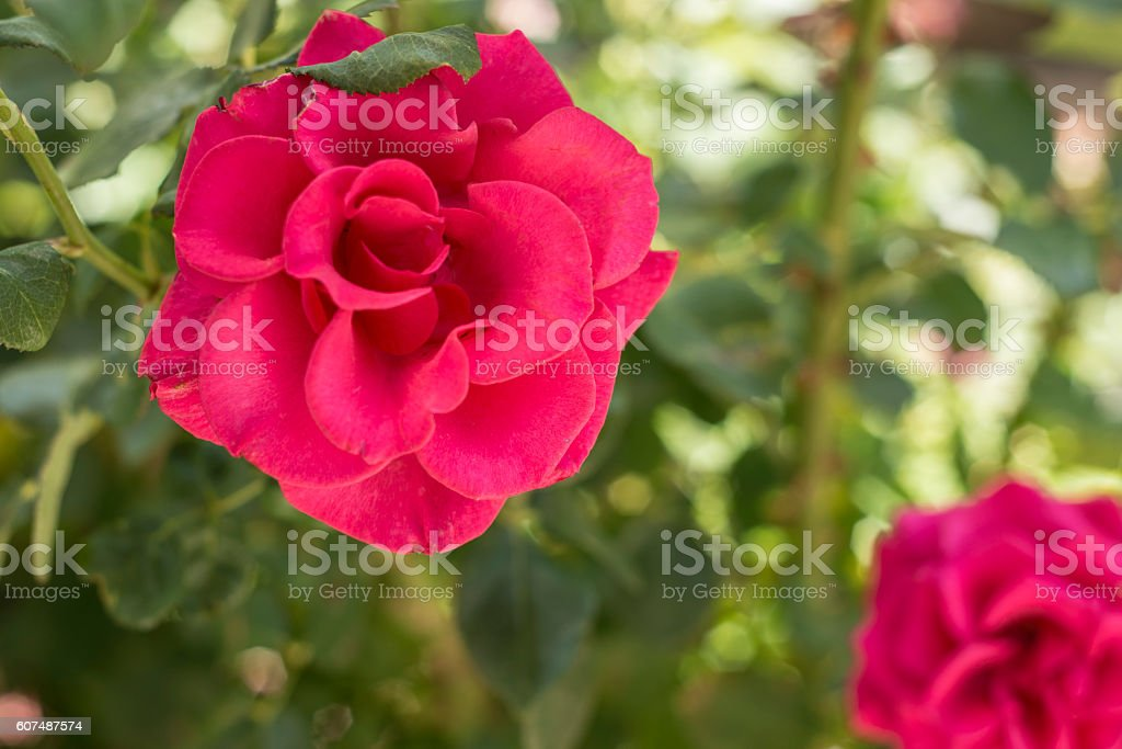 Beautiful Red Rose in Lush Green Garden Landscape stock photo