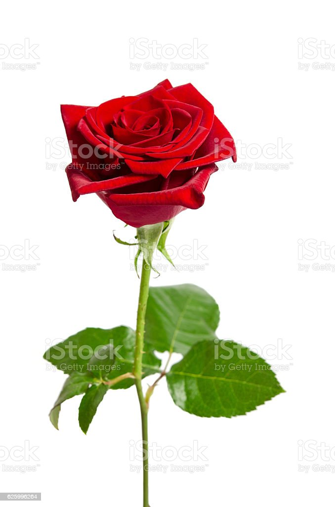 beautiful  red rose isolated on white background stock photo
