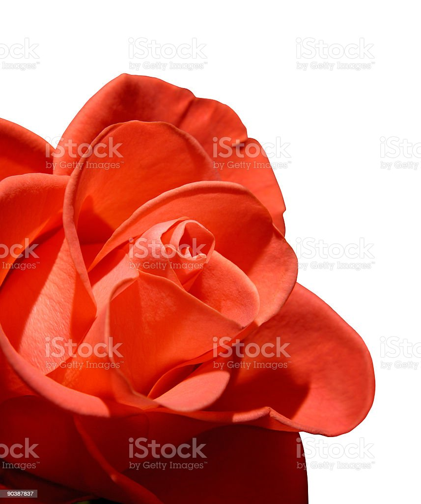 Beautiful red rose macro isolated on white background royalty-free stock photo