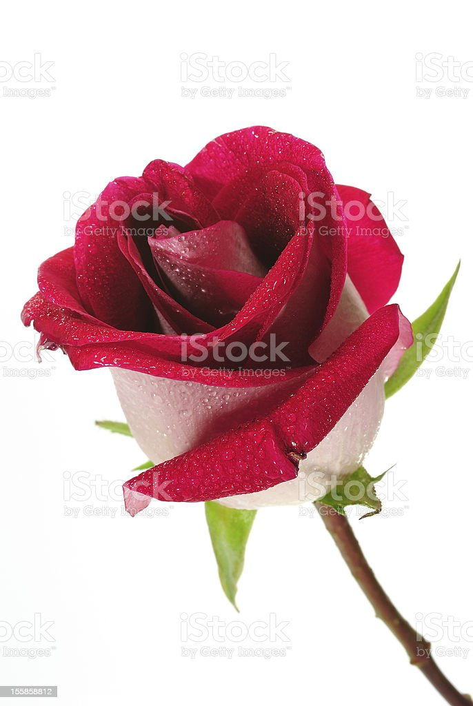 Beautiful red rose on a white background stock photo