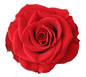 A beautiful red rose on a white background