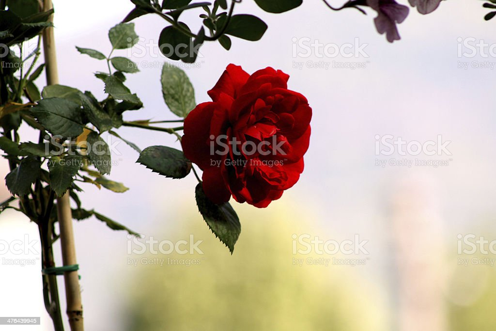 Beautiful Red Rose royalty-free stock photo
