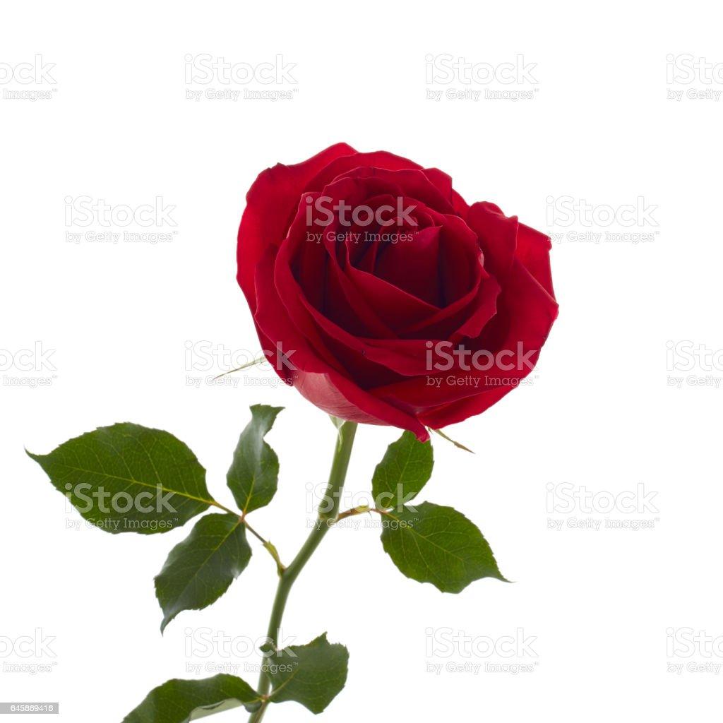 beautiful red rose stock photo