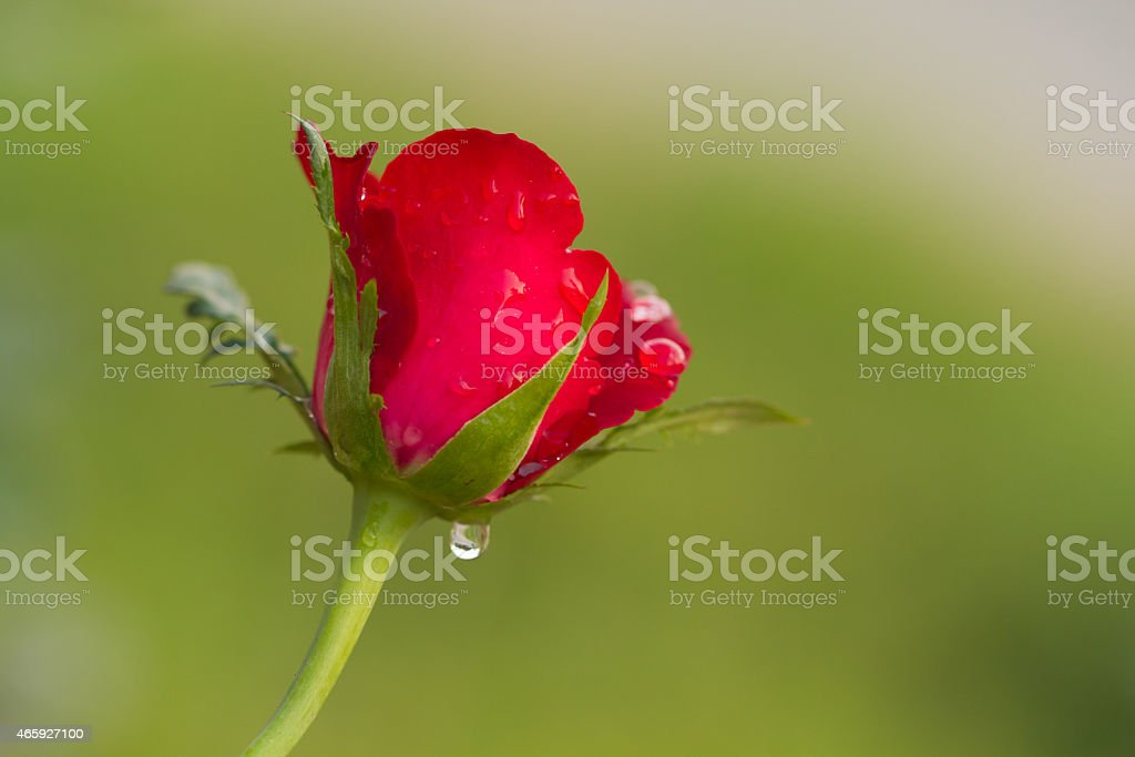 beautiful red rose with green background royalty-free stock photo