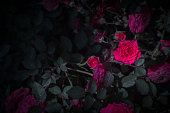 Beautiful red roses in the darkness.